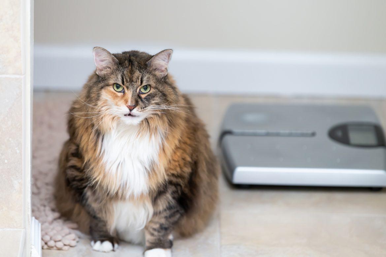 dieta pisici grase